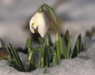 snowdrop-frost